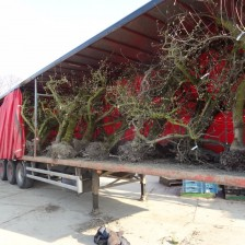 Fruitbomen gereed voor verplaatsing