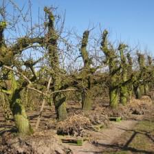 Gerooide bomen in de boomgaard van Vink Fruitboerderij