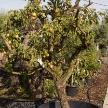 Vink Gieser Wildeman perenboom