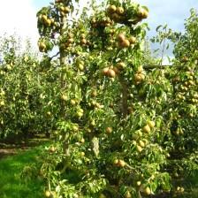 gieser 35 met peren