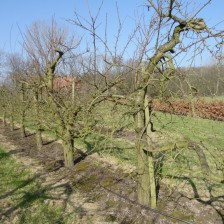 pruimenboom groot