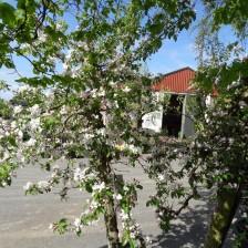 Elstar rechtopstaand in bloei