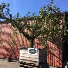 Fruitboom in kist