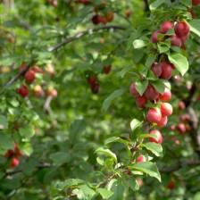 Pruimenboom met pruimen