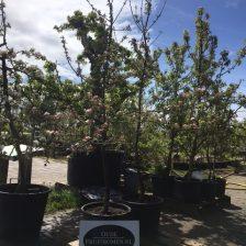 Jonge Jonagoldboom in bloei