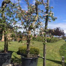 Oude Elstarboom rechtopstaand