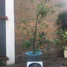 Jonge Elstarboom rechtopstaand