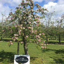 Elstar appelboom in bloei