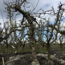 goudreinet 35 jaar in kuilbult winer