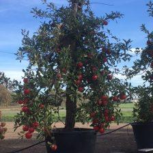 Elstar appelboom