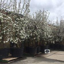 voorjaar bloei elstar appelboom