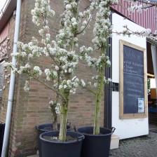 2014-04-08 16.52.47 Gieserwildeman 15 jaar pilaar 3 bomen in bloei.