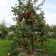 2014-09-16 15.50.15 Goudreinet 25 jaar met appels